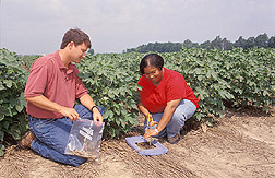 Biologist and technician measure residues from a rye cover crop: Click here for full photo caption.