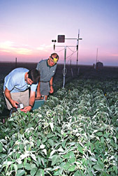 Soil scientist assists researcher as he uses a portable photosynthesis analyzer on soybean plants: Click here for full photo caption.