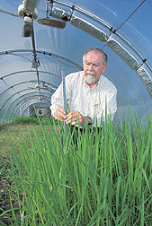 Soil scientist measures growth of rice cultivars: Click here for full photo caption.