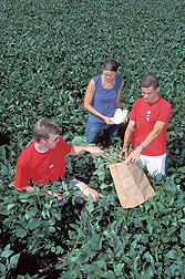 Students harvest aboveground growth of soybean plants: Click here for full photo caption.