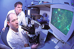 Microbiologist and immunologist use ultraviolet microscopy to examine cell monolayers: Click here for full photo caption.