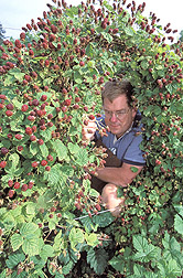 Geneticist identifies best-performing plants and evaluates berry appearance: Click here for full photo caption.