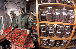 Geneticist and food scientist flash-freeze and store berries: Click here for full photo caption.