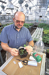 Plant pathologist Robert Martin grafts a strawberry plant to an indicator plant. Link to photo information