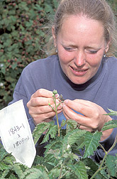 Technician removes male flower parts from blackberry buds: Click here for full photo caption.