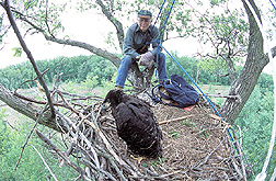 Biologist pauses on the edge of a bald eagle's nest: Click here for full photo caption.