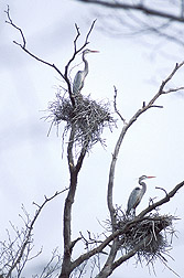 Herons on the BARC farm: Click here for full photo caption.