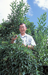 Biocontrol specialist examines skunk vine: Click here for full photo caption.