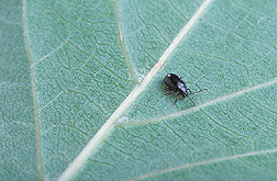 Flea beetle, Trachyaphthona sordida. Click image for additional information.