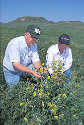 Soil scientist and rancher examine falcata alfalfa: Click here for full photo caption.