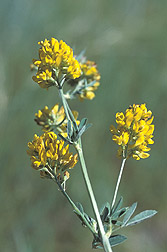 Close-up of the flower of falcate alfalfa: Click here for photo caption.