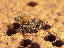Photo: Varroa mite on an adult worker honey bee's thorax. Link to photo information