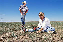 Rangeland ecologist takes soil samples as technician clips vegetation for nutrient analysis: Click here for full photo caption.