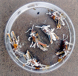 Melanoplus grasshoppers killed by fungus: Click here for full photo caption.