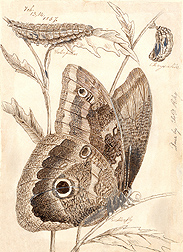 Sketch drawn by entomologist Charles Valentine Riley: Click here for photo caption.