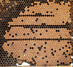 Brood comb of control bees: Click here for full photo caption.