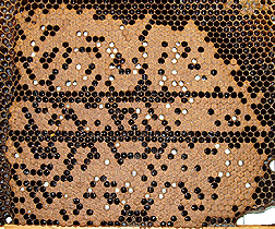 Brood comb of SMR bees: Click here for full photo caption.