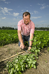 Agronomist collects peanut plants for crop biomass determinations: Click here for full photo caption.