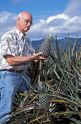 Paul Moore inspects green pineapple fruit. Link to photo information
