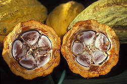 Cross-section of a healthy cacao pod: Click here for photo caption.