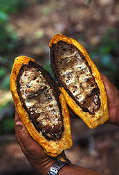 Pathogenic fungi that cause witches' broom on cacao pods: Click here for full photo caption.