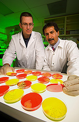 Microbiologist (left) and USMARC director examine petri dishes for Salmonella growth: Click here for full photo caption.