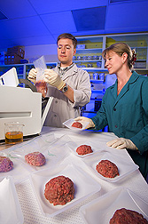 Ground beef samples are prepared for enumeration of bacteria by microbiologists: Click here for full photo caption.