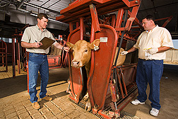 While acting research leader records a cow's identification number, a food technologist uses a moist sponge to obtain a microbe sample from the cow's hide: Click here for full photo caption.