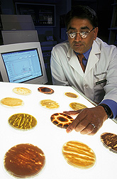 Geneticist examines pigmented mutant strains of aflatoxin-producing fungus: Click here for full photo caption.