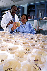 Charles Bacon and Dorothy Hinton screen petri dishes of bacteria for growth on media amended with fusaric acid. Link to photo information