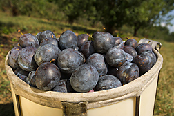 HoneySweet plums, sweet and flavorful, are highly resistant to plum pox virus: Click here for photo caption.