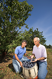 Horticulturist (right) and technician inspect ripe HoneySweet plums: Click here for full photo caption.