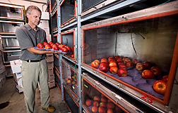 Plant physiologist places apples treated with 1-MCP into a controlled atmosphere chamber to evaluate apple quality after extended periods in storage: Click here for full photo caption.