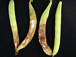 Snap bean pods infected with white mold: Click here for photo caption.