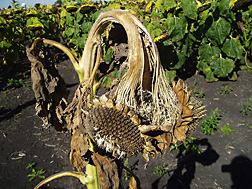 Sunflower plant infected with Sclerotinia head rot: Click here for photo caption.