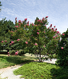 Crapemyrtle, Lagerstroemia, Miami: Click here for photo caption.