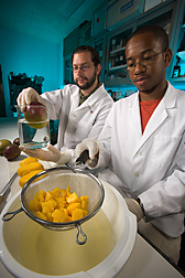 Technician (above left) sanitizes a whole mango before cutting it into pieces while another technician dips the mango pieces in an edible coating designed to prolong the cut fruit's shelf life: Click here for full photo caption.
