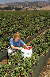 Agronomist collects strawberry samples from an IR-4 field plot in Salinas, California: Click here for full photo caption.