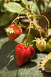 Strawberries from an IR-4 field plot in Salinas, California: Click here for photo caption.
