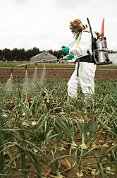 Using a backpack sprayer, agronomist sprays a test substance onto an IR-4 dry bulb onion field plot located in Salinas: Click here for full photo caption.