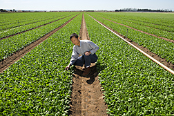 Plant geneticist checks spinach plants for leafminer damage in a grower's field in Salinas, California: Click here for full photo caption.