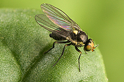 Photo: Adult leafminer fly. Link to photo information