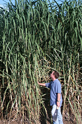 Photo: ARS agronomist Robert Cobill examines a new high fiber sugarcane variety. Link to photo information