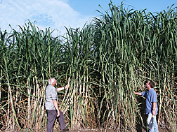 "Geneticist (left) compares a leading sugarcane variety (known as ""L 99-233"") to the newly released high-fiber sugarcane variety (called ""Ho 00-961"") being held by agronomist: Click here for full photo caption."