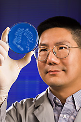 Photo: Chemist Charles Lee looking at a petri dish of bacteria that may produce enzymes capable of breaking down plant material into the basis for biofuels. Link to photo information
