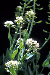 Alpine pennycress: Click here for photo caption.