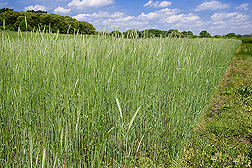 Photo: Field of rye as a cover crop. Link to photo information