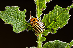 Adult Colorado potato beetle: Click here for full photo caption.