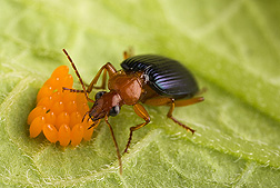 Adults of the native carabid beetle, Lebia grandis, are voracious predators of Colorado potato beetle eggs and larvae: Click here for photo caption.