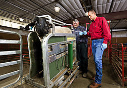 At the University of Wyoming livestock farm in Laramie, professor (left) and animal physiologist prepare to artificially inseminate a Suffolk ewe using an insemination gun and spiral catheter: Click here for full photo caption.
